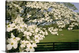 A Blossoming Dogwood Tree In Virginia Wall Art Canvas Prints Framed Prints Wall Peels Great Big Canvas