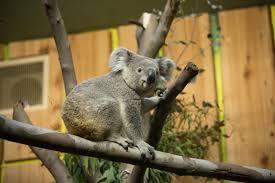 Koala Cam