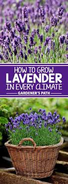 how to grow lavender in every climate