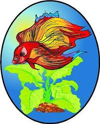 red siamese fighting betta fish