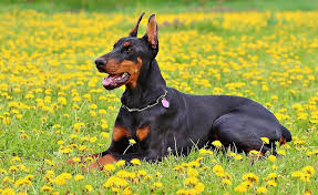Adult black and tan Doberman pinscher lying on yellow petaled ...