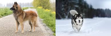 Belgian Shepherd Dog (Tervuren) vs ...
