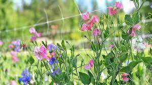 How To Grow Sweet Peas Organic Gardening Blog Grow Organic