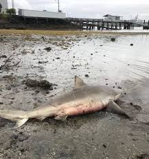 Bronze whaler shark washed up on Auckland beach taken to Massey University  for research - NZ Herald