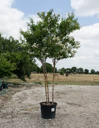 Natchez Crape Myrtle - Dallas, Texas - Treeland Nursery