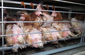 L214 : les images les plus insoutenables de la souffrance animale