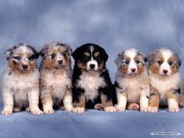 puppy wallpaper dogs wallpaper