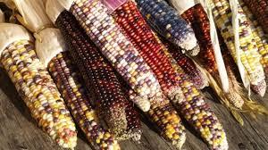 بذر ذرت رنگین کمان ارگانیک | بذر گیاهان خاص و کمیاب | باغ بهشت