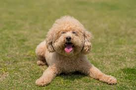 poodle rament what s it like