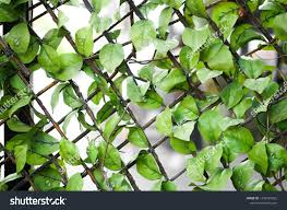 Lattice Covered Artificial Ivy Artificial Leaves Stock Photo Edit Now 1436527022
