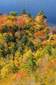 Minden Pictures - Deciduous forest and pond in autumn, Jordan Pond, Mount  Desert Island, Acadia National Park, Maine