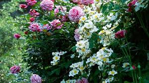 How To Grow Easy Shrub Roses Better Homes Gardens