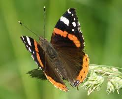 Red Admiral Butterfly, Vanessa atalanta, identification guide