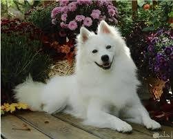 10 صور كلاب لولو كيوت و خلفيات روعة لعشاق الكلاب