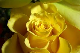 ورد اصفر جوري 2017 Yellow Rose Hd Photo صور ورد وزهور Rose