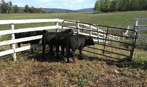 Central Ny Feeder Cattle Pool Moves Forward Northern Region Lancasterfarming Com