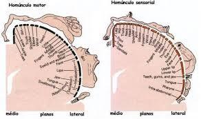 homúnculo de penfield características