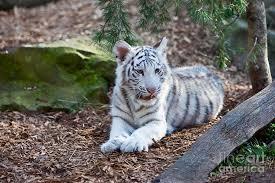white tiger photograph by brian jannsen