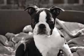 nikon pet sally boston terrier