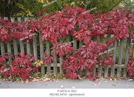 Boston Ivy On Garden Fence In Autumn Parthenocissus Tricuspidata Vitaceae Stock Photo Picture And Rights Managed Image Pic Rdc Ad 94161 Agefotostock