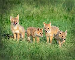 fox family photograph by judi dressler