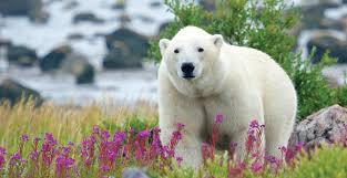 Getting Up Close With Polar Bears While We Still Can The Saturday Evening Post