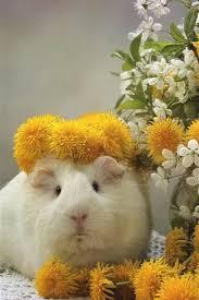 guinea pig dandelions cherry flowers