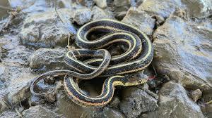 the harmless garter snake is your