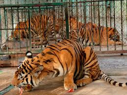 The Harrowing Truth About Tiger Farming In Southeast Asia The Independent The Independent