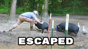 Electric Pig Fencing Repairs He Gets Out The Farm Life Youtube