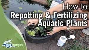 repotting fertilizing aquatic plants