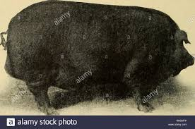 Animal husbandry for schools. Livestock. 262 Animal Husbandry The Poland  China meat has been subject to criticism because of the rather large amount  of external fat, although the American. Fig. 106. —