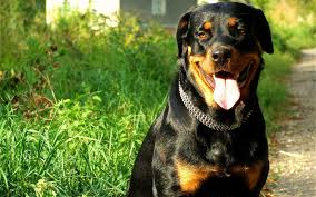 hd rottweiler wallpapers top free hd