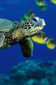 iphone sea turtle free wallpaper sea