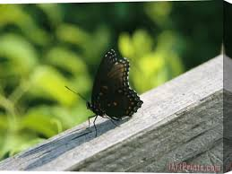 Raymond Gehman An Admiral Butterfly Perched On A Fence Post Stretched Canvas Painting Canvas Art For Sale Iartprints Com