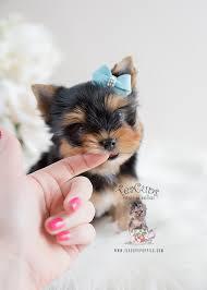 yorkie terrier puppies