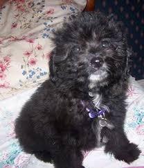 list of pomeranian mix breed dogs