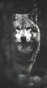 the iphone wallpapers wolf