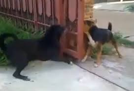 Dogs Don T Want To Fight Bark Through A Bit Of Fence Instead Metro News