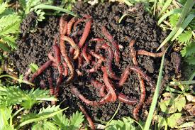 Red Wigglers - Composting Worms - Free Shipping | Gardeners.com ...