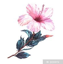 Hand Drawn Watercolor Floral Illustration Of The Tender White With Pink Hibiscus Flower Natural Drawing Isolated On The White Background Romantic Tropical Blossom Sticker Pixers We Live To Change