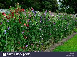 Sweet Pea Climbing Frame High Resolution Stock Photography And Images Alamy