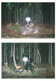 baiting and hunting wild hogs