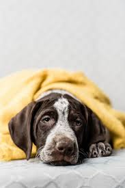 puppy love german shorthaired pointers
