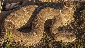It S Rattlesnake Season In The County The San Diego Union Tribune