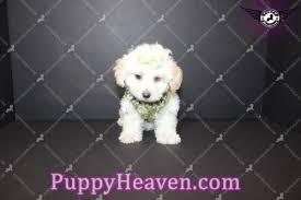 teacup maltipoo puppy in los angeles