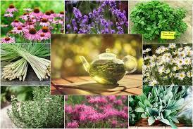 grow your own herbal tea garden 12