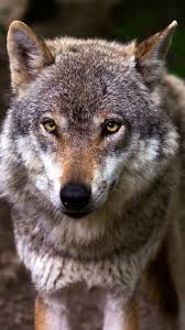 wolf wallpaper iphone android