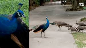 Peacocks everywhere: W. Houston neighbors spend decades living ...