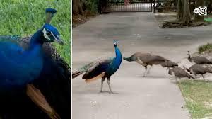 Peacocks everywhere: W. Houston neighbors spend decades living ...